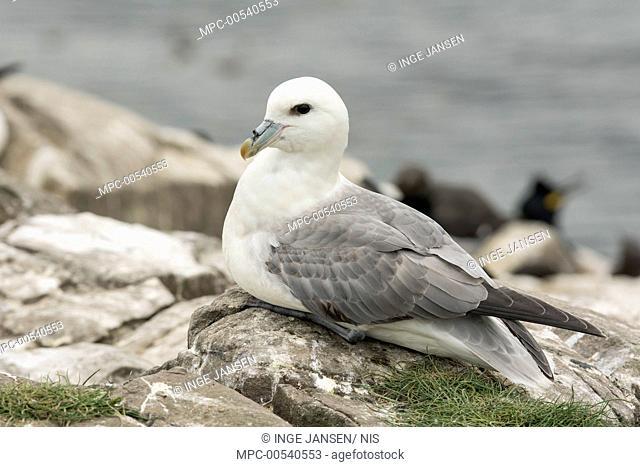 Northern Fulmar (Fulmarus glacialis), Farne Islands, England, United Kingdom