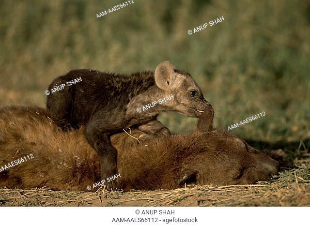 Spotted Hyaena pup playing with sleeping adult (Crocuta crocuta) Serengeti National Park, Tanzania