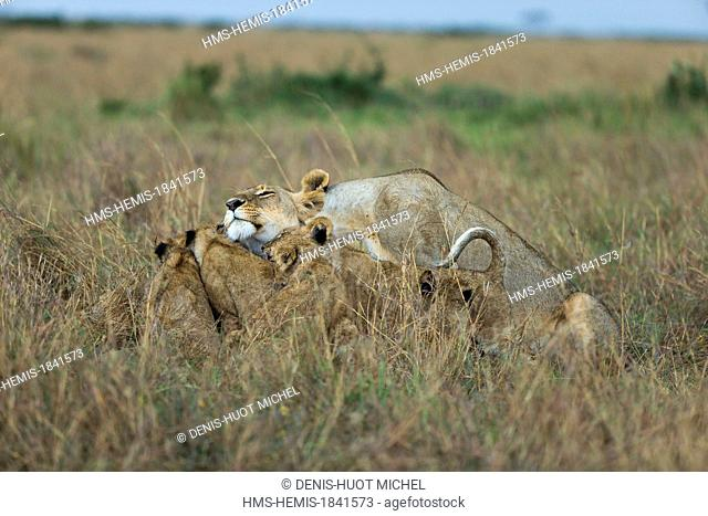 Kenya, Masai-Mara game reserve, Lion (Panthera leo), lioness cleaning her cubs after the rain