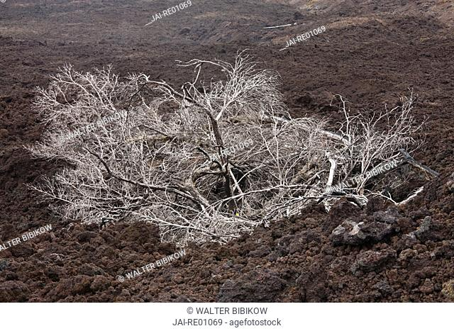 Reunion Island, South East Reunion, Le Grand Brule lava flow from La Fournaise volcano, tree in lava