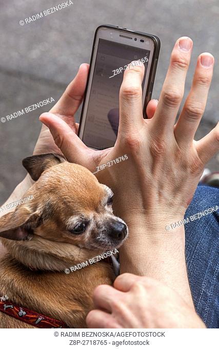 Smartphone and chihuahua
