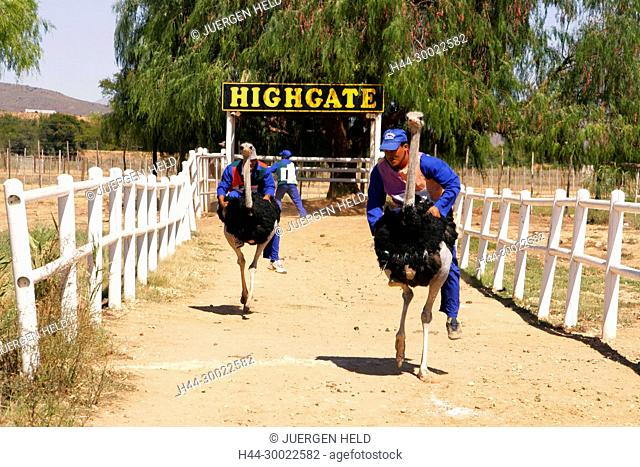 south africa, Karoo, Western cape, Oudtshorn, ostrich farm, race
