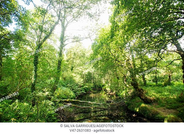 Image of Galician forest in the Camino de Santiago, Mondonedo, Lugo, Galicia, Spain, Europe