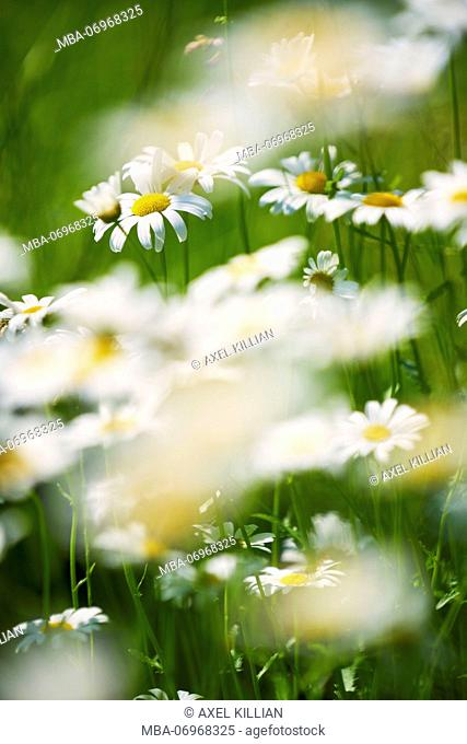 Daisy meadow with many flowers, sharp and blurred