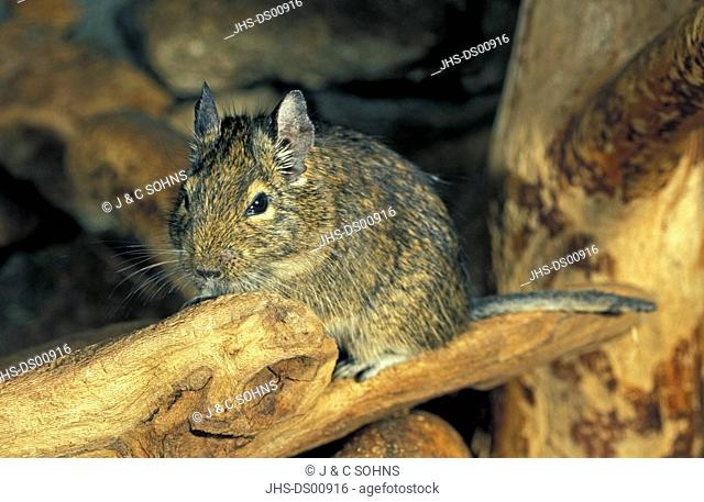 Degu,Octodon degus,South America,young