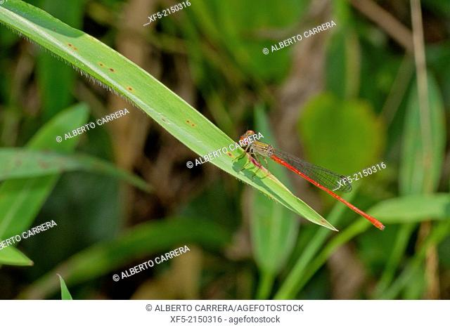 Damselfly, Tropical Rainforest, Costa Rica, Central America, America