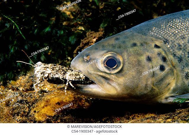 Sea trout (Salmo trutta trutta) devouring grasshopper. Tea river, Galicia, Spain