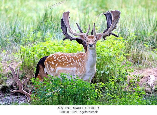 France, Haute Saone, Private park, Fallow Deer (Dama dama), bucks, males