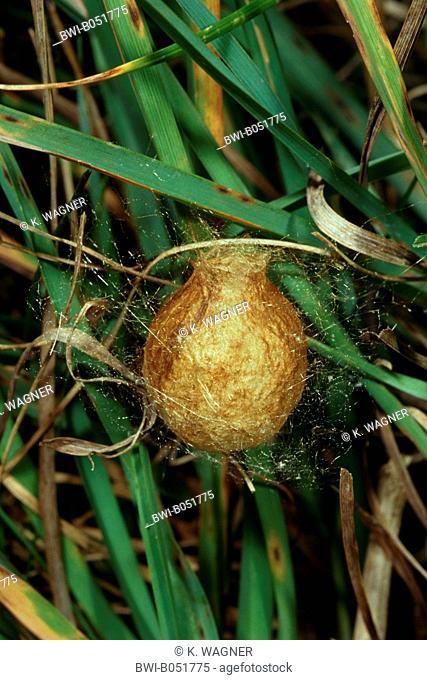 black-and-yellow argiope, black-and-yellow garden spider (Argiope bruennichi), cocoon, Germany