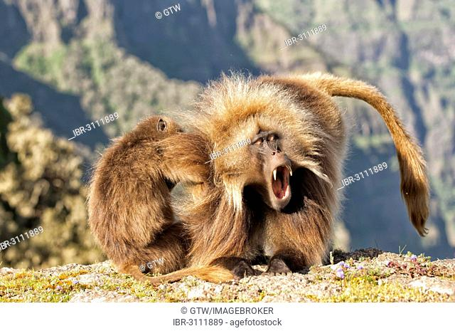 Gelada baboons (Theropithecus gelada) grooming each other, Simien Mountains National Park, Amhara Region, Ethiopia