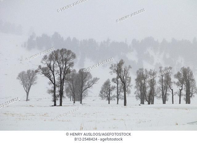 Trees in winter - Yellowstone NP. USA