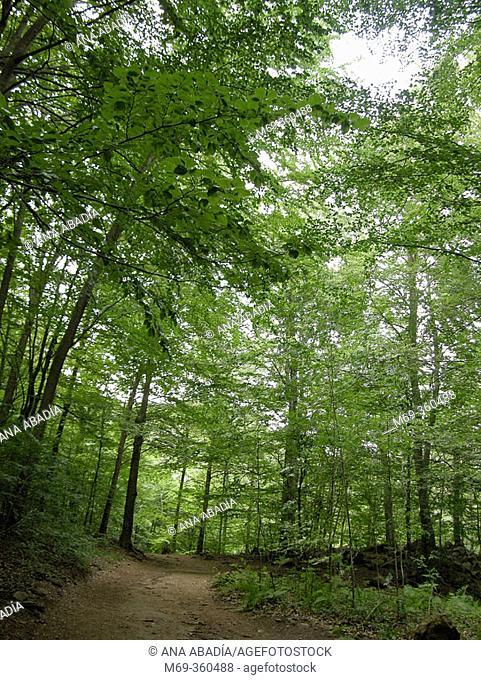 Beeches (Fagus sylvatica). Montseny Natural Park, Barcelona province. Spain