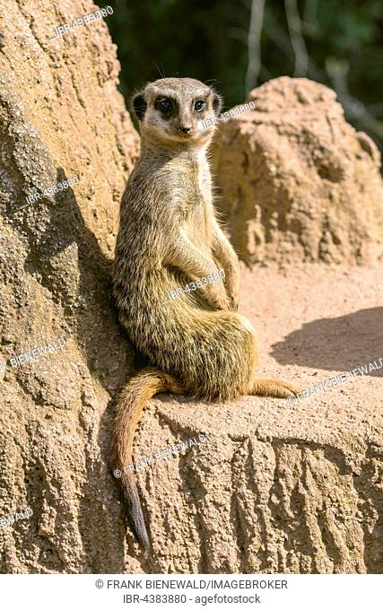 Meerkat (Suricata suricatta) is sitting on a rock, watching out, captive, Leipzig, Saxony, Germany