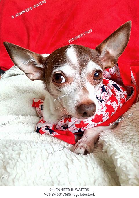 Portrait of an adult male chihuahua indoors