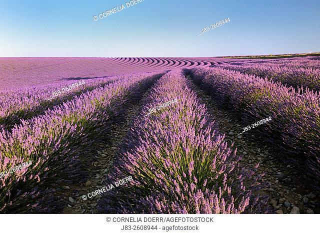 Lavendelfeld, Lavender field (Lavendula augustifolia), Valensole, Plateau de Valensole, Alpes-de-Haute-Provence, Provence-Alpes-Cote d'Azur, Provence, France