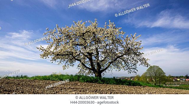 apple tree in Germany