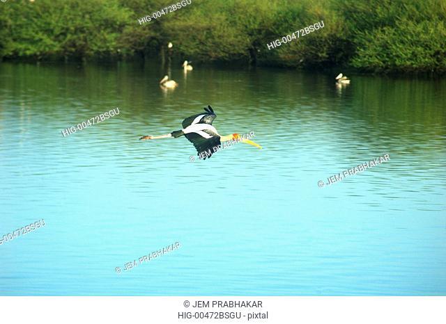 PAINTED STORK IN FLIGHT IN KOONTHAKULAM BIRD SANCTUARY NEAR TIRUNELVELI, TAMILNADU, INDIA