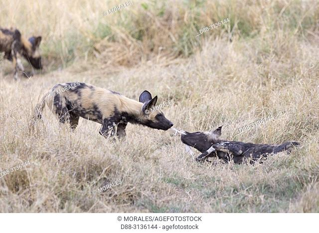 Africa, Southern Africa, Bostwana, Moremi National Park, African wild dog or African hunting dog or African painted dog (Lycaon pictus), group, youngs