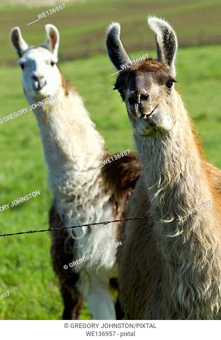 It would appear that one Llama photobombed another near Potlach, Idaho