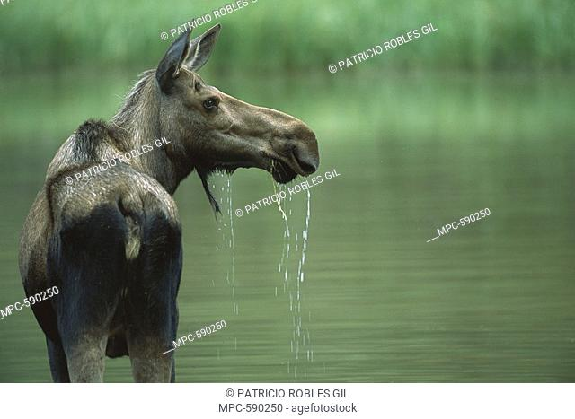 Moose Alces alces, female feeding in lake, Canadian Rockies