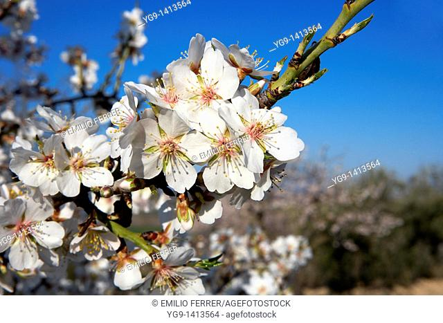 Almond trees branch with flowers in spring  LLeida  Spain