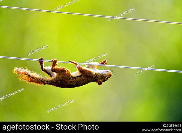 Red squirrel (Tamiasciurus hudsonicus) climbing along clothesline to bird feeder , Greater Sudbury, Ontario, Canada