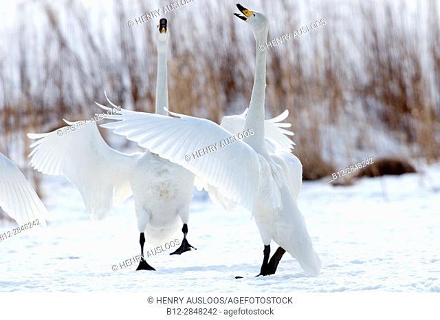 Whooper swan (Cygnus cygnus), parade, Japan