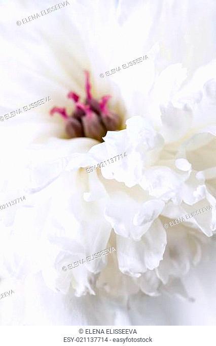 White peony flower close up