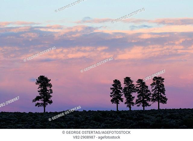 Ponderosa pine dusk near Cabin Lake, Deschutes National Forest, Oregon
