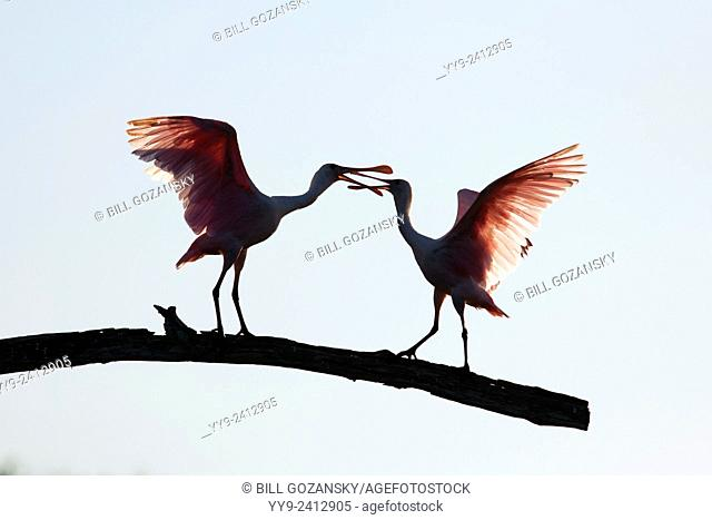 Roseate Spoonbills (Platalea ajaja) - Green Cay Wetlands - Boynton Beach, Florida USA