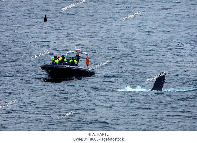 humpback whale (Megaptera novaeangliae), whale boat safari near submerging humpback whale, Norway, Fylke Troms, Senja Mefjord