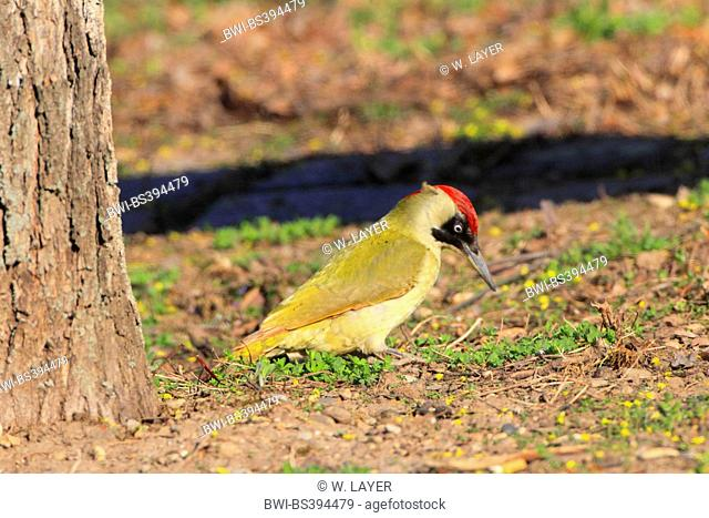 green woodpecker (Picus viridis), female on the feed on the ground, Germany