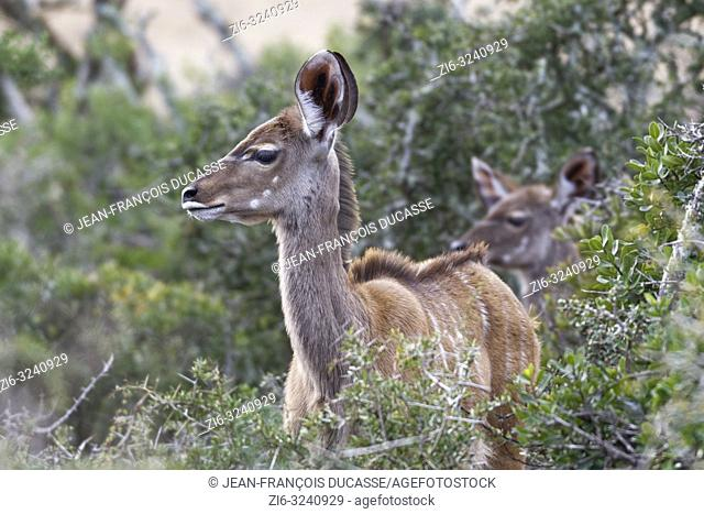 Greater kudus (Tragelaphus strepsiceros), young, standing behind thorny shrubs, alert, Addo Elephant National Park, Eastern Cape, South Africa, Africa