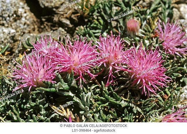 Jurinea humilis. Gredos mountain range. Avila. Spain