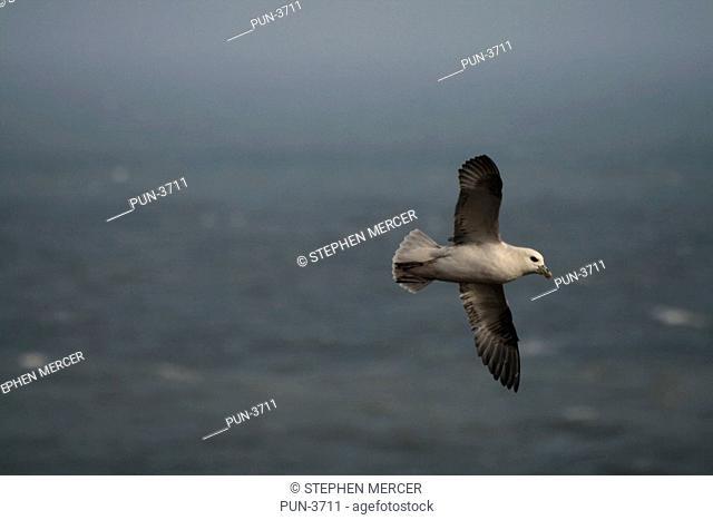 Fulmar fulmarus glacialis in flight with ocean waves as backdrop
