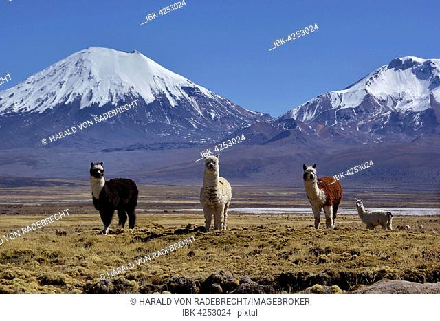 Snow-covered volcanoes Pomerape and Parinacota, llamas (Lama glama), Sajama National Park, border between Bolivia and Chile