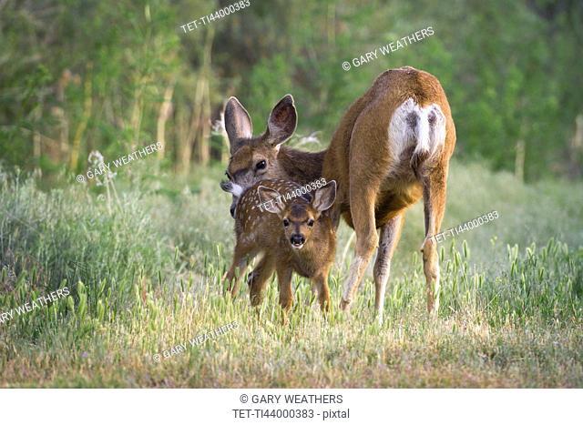 USA, Oregon, Doe with fawn