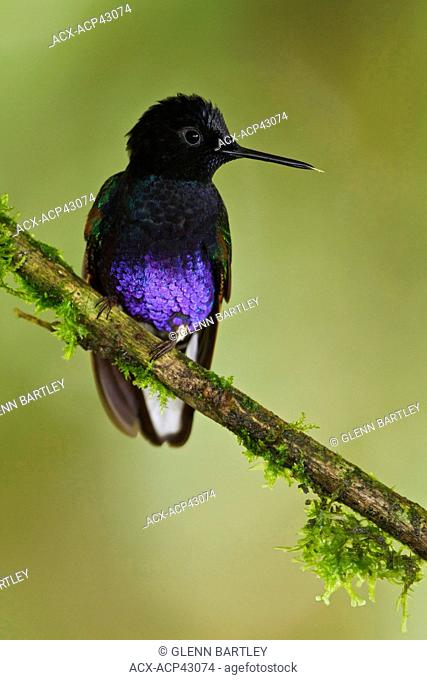 Velvet-purple Coronet Boissonneaua jardini perched on a branch in Ecuador