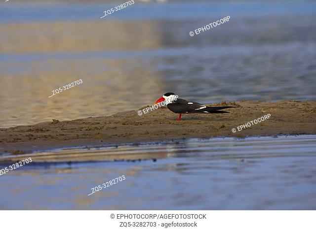 Indian Skimmer, Rynchops albicollis, Chambal river, National Chambal Sanctuary, India