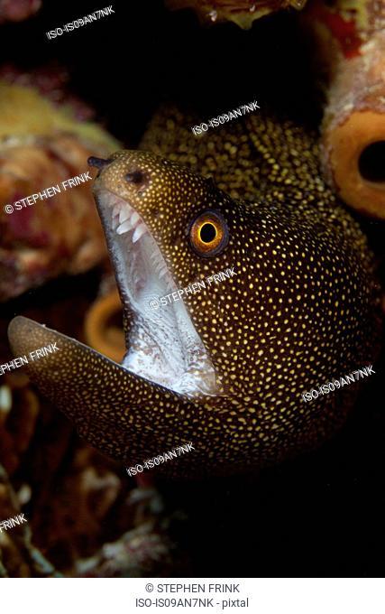 Close-up Goldentail moray