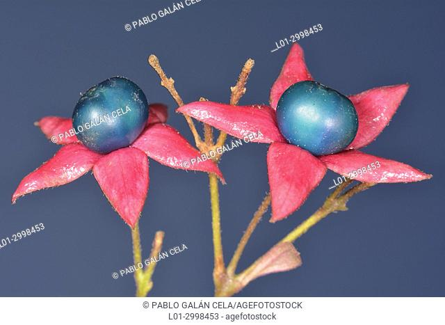 Clerodendron trichotomum, fruits