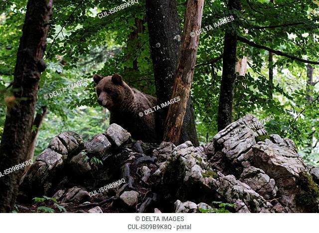 European brown bear (Ursus arctos) looking down from rocks in Notranjska forest, Slovenia