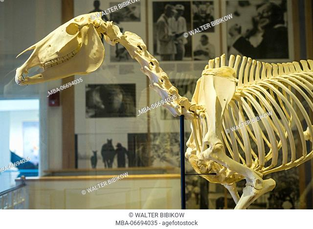 USA, New York, Hudson Valley, Saratoga Springs, National Museum of Horse Racing and Hall of Fame, horse skeleton