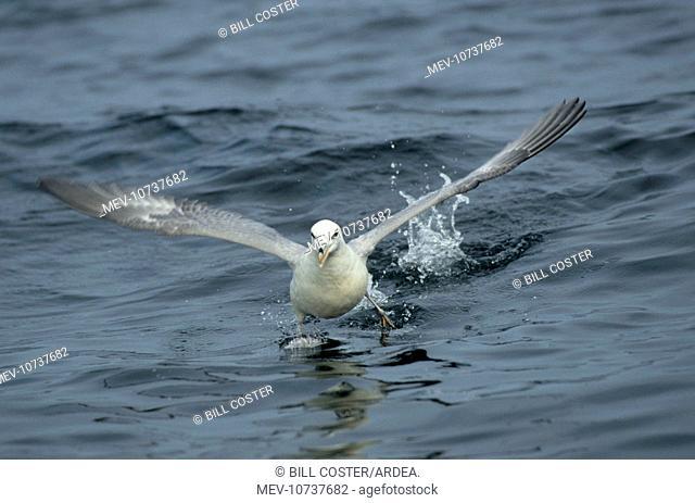 Fulmar - running across water (Fulmarus glacialis)