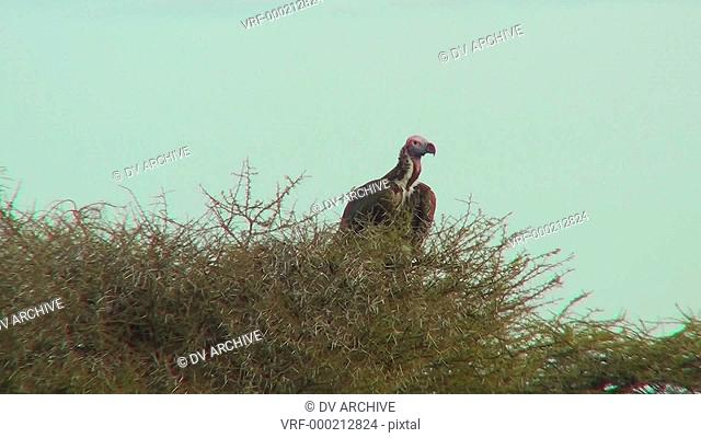 An African vulture sits in a tree