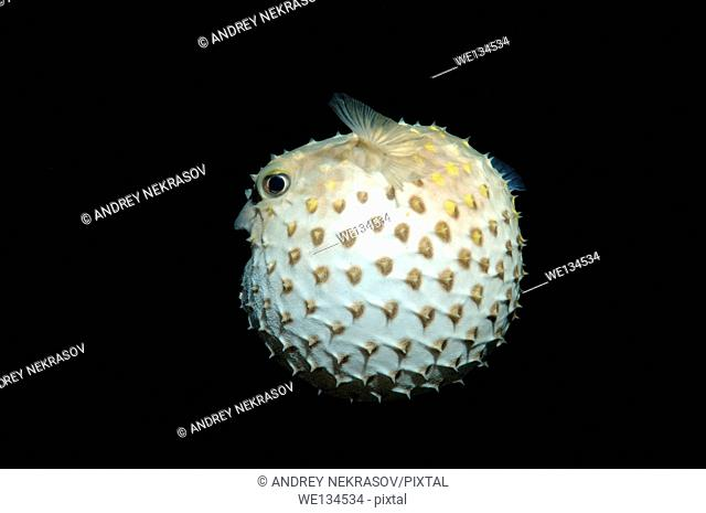 Spotted Porcupinefish, Spot-fin Porcupinefish or simply Porcupinefish (Diodon hystrix) in night diving. Red Sea, Egypt, Africa