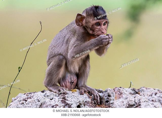 Young long-tailed macaque, Macaca fascicularis, feeding in Angkor Thom, Siem Reap, Cambodia, Khmer