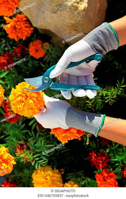 hands of gardener cutting rmarigolds