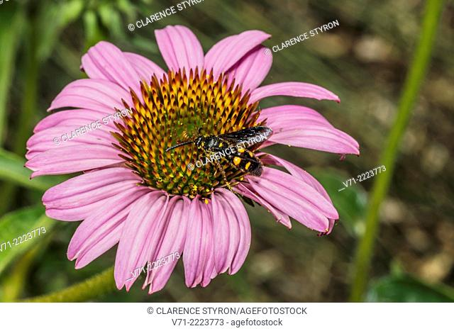 Scolid Wasp (Scolia dubia) Feeding on Purple Cone-flower (Echimacea purpurea) Flower