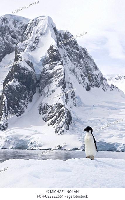 A lone adult Adelie penguin Pygoscelis adeliae on an iceberg off Petermann Island, Antarctica